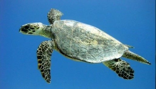 Seagate-Hurghada-Duiken-Scuba-Diving-Turtle-Schildpad