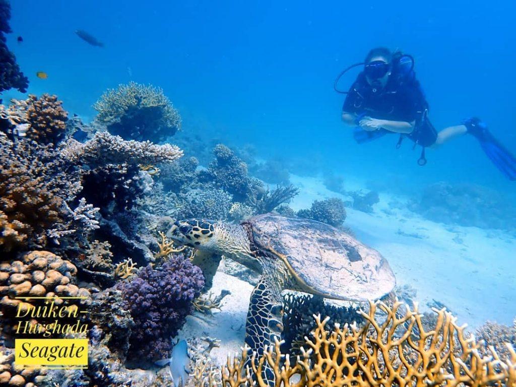 Duiken-Hurghada Seagate - Rode Zee - Egypte - Schildpad - Open Water Duikcursus