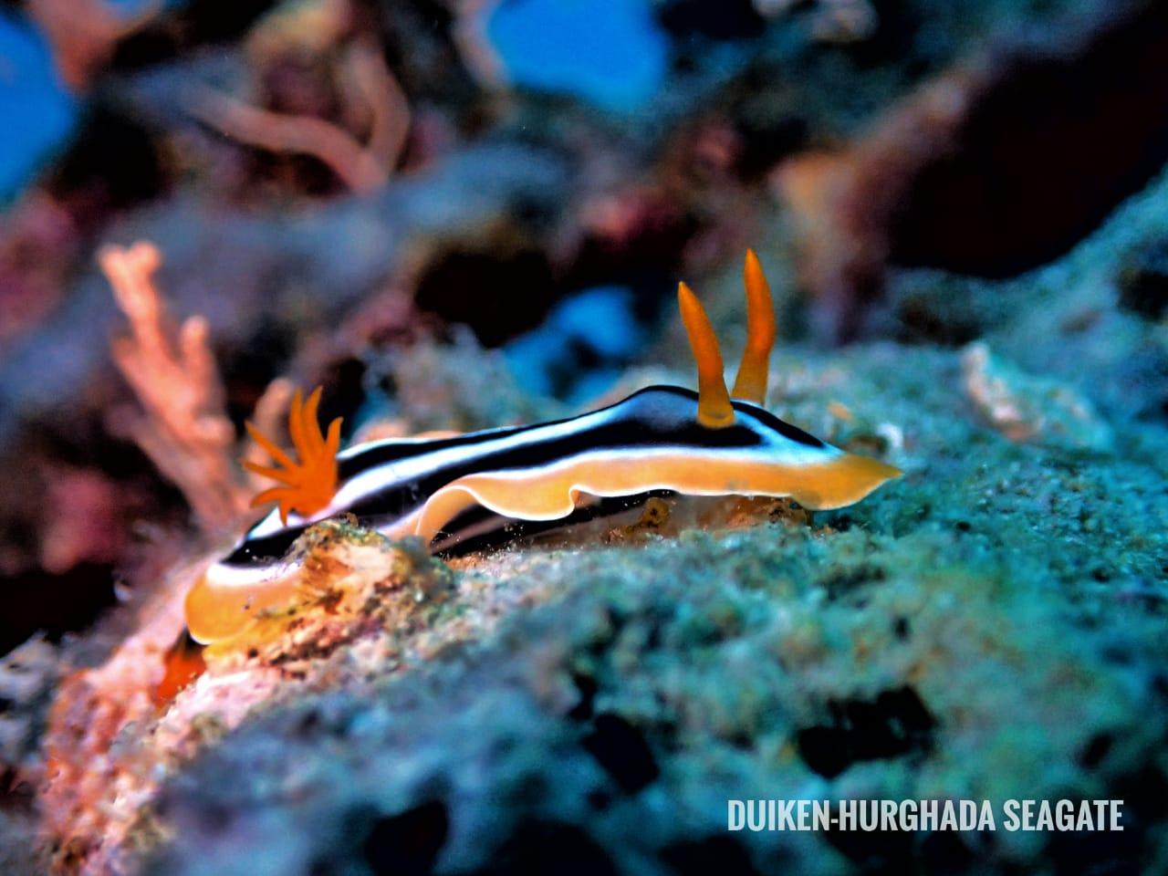 Nudibranch, Duiken Hurghada Seagate