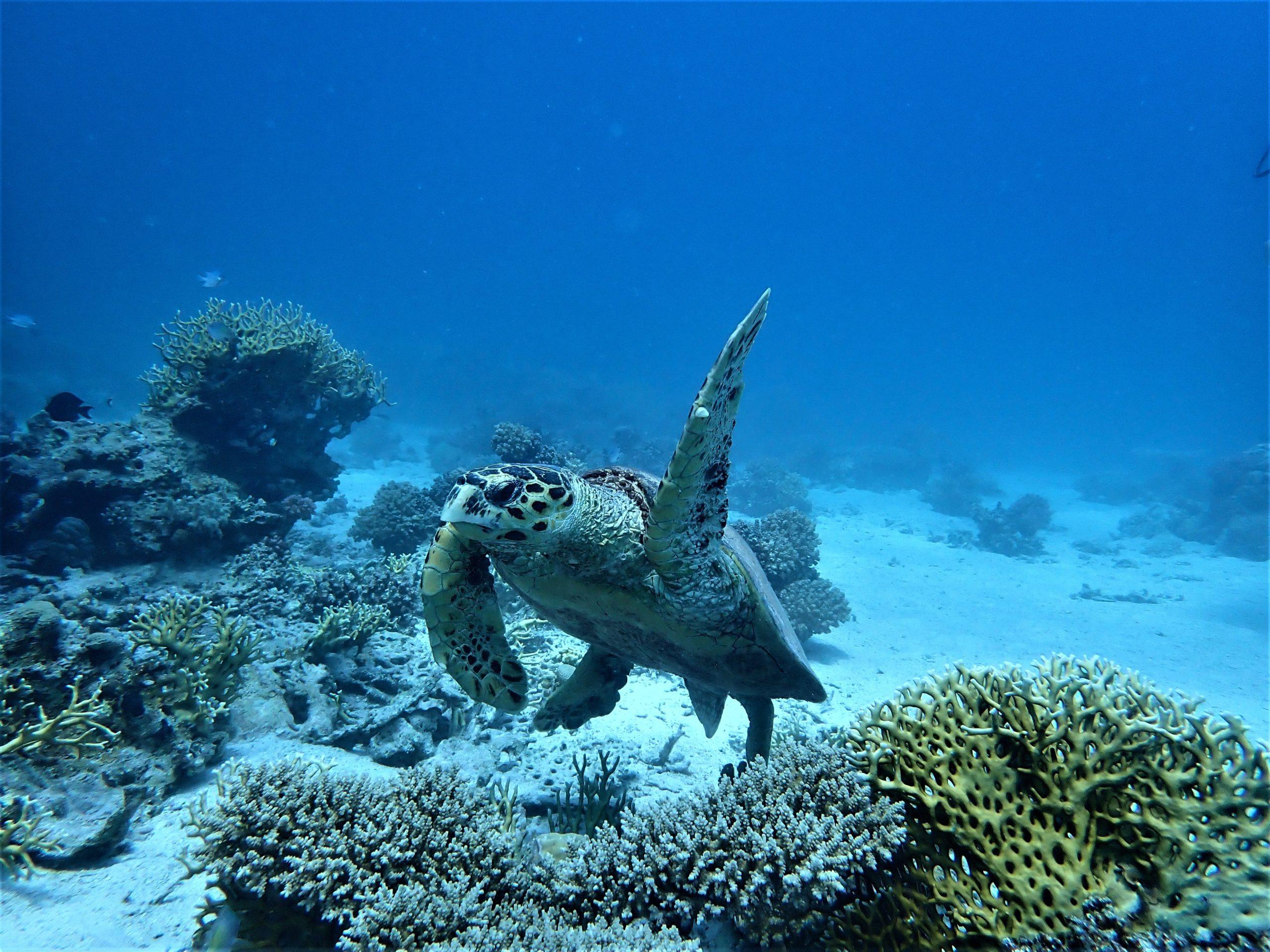 Schildpad in de Rode Zee, Duiken Hurghada Seagate